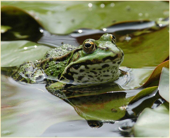Frosch Bilder